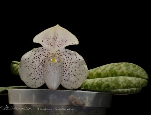 Paphiopedilum bellatulum