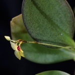 Lepanthes reflexa