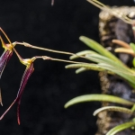 Trisetella abbreviata