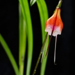 Dracula sodiroi subsp. erythrocodon