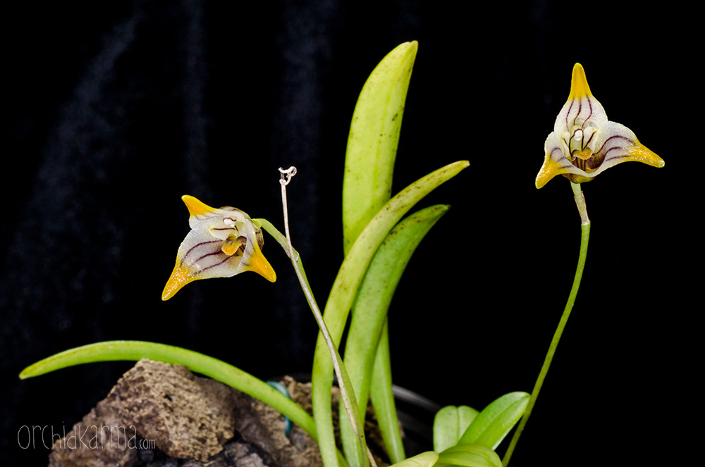 Masdevallia striatella