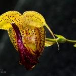 Scaphosepalum anchoriferum