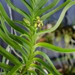 Vanda (Trudelia) alpina