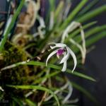 093-Leptotes-bicolor
