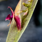 Lepanthes meniscophora