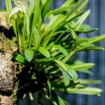 015-Diodonopsis-pygmaea-5