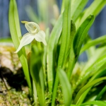 015-Diodonopsis-pygmaea-6