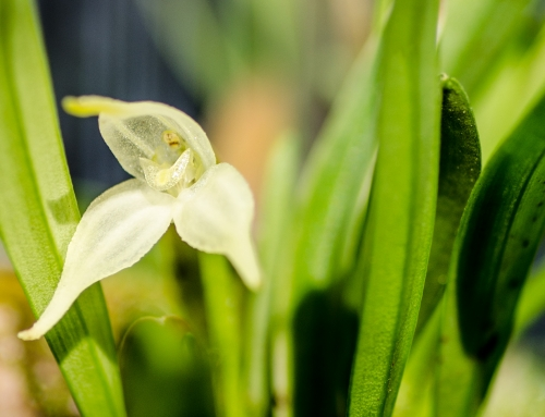Diodonopsis pygmaea… or is it?