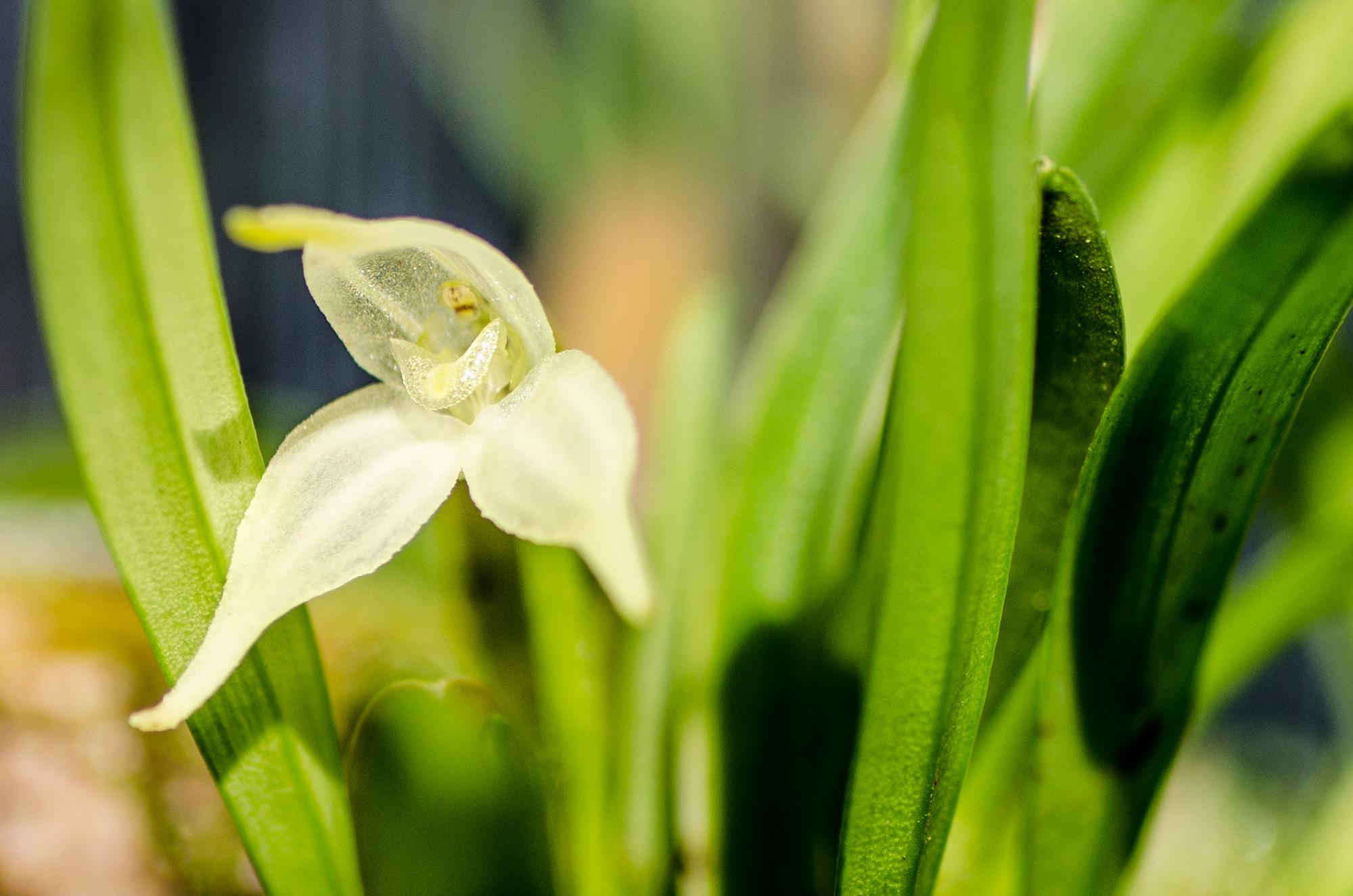 Diodonopsis-pygmaea