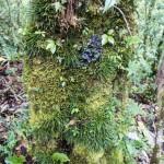 A Trisetella tree