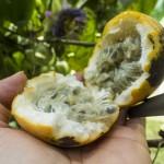 Sun ripe passion fruit