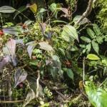 Lepanthes specimen plant