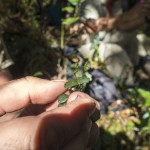 New species Lepanthes?