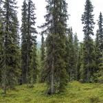 Kungsleden forest