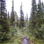 Forest trail in Sarek