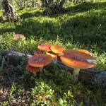 Fy Agaric mushrooms