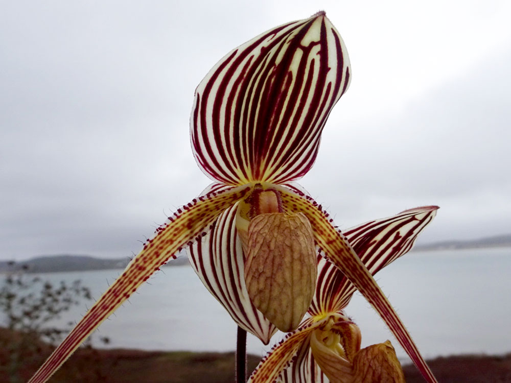Paphiopedilum St. Swithin