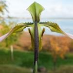Paphiopedilum appletonianum-08
